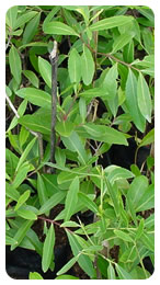 Fresh Khat-Fresh Khat Manufacturers, Suppliers and Exporters
