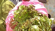 Khat Leaves Suppliers India,Indian Khat Leaves Supplier, Khat Leaves Supplies, Fresh Khat-Fresh Khat Manufacturers, Suppliers and Exporters