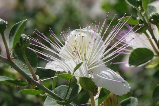 capers flower