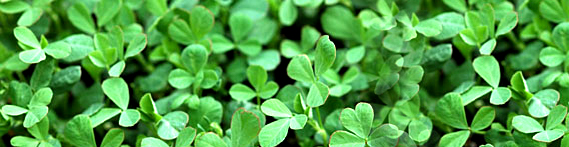 fenugreek-leaves-banner