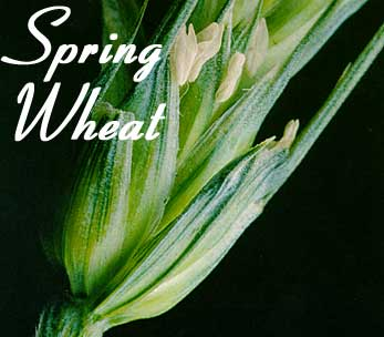 spring wheats images