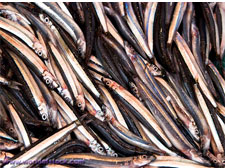 anchoy fish in india