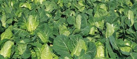 Cabbage plant