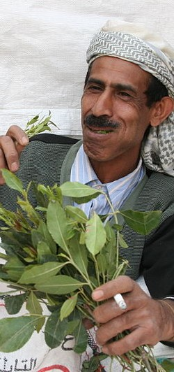 Khat Leaves Suppliers India,Indian Khat Leaves Supplier