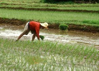 Zamindara Red Rice, indian Zamindara Red Rice, wholesale Zamindara